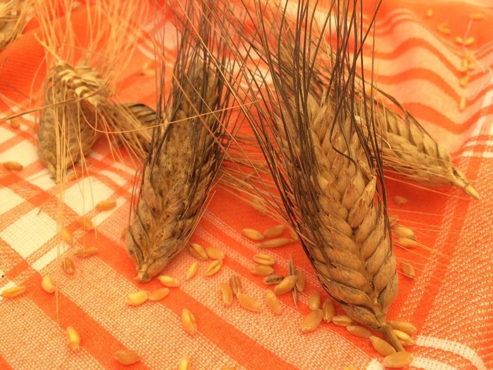 Karakılçık buğday başağı