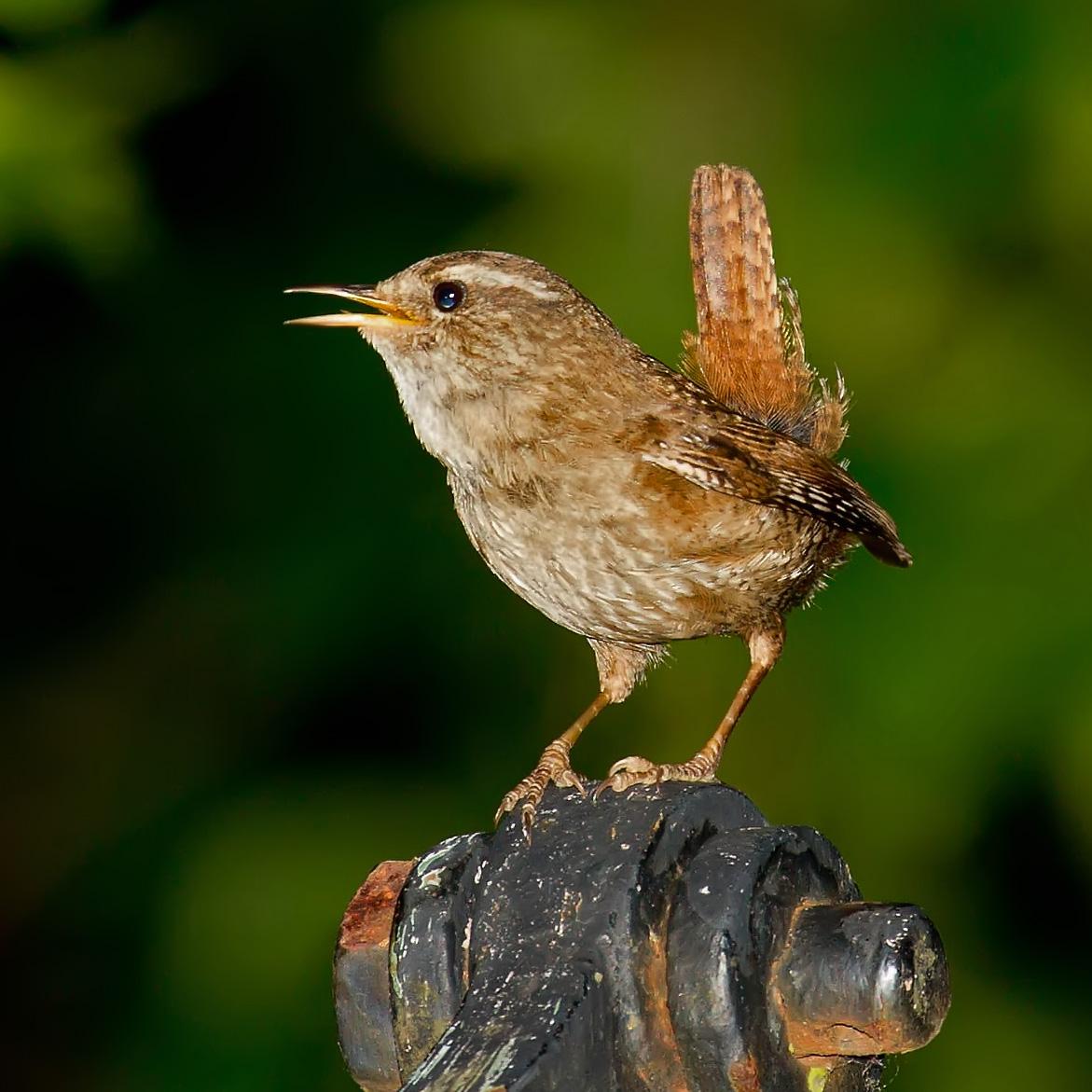 Çit kuşu, Foto: Andreas Trepte