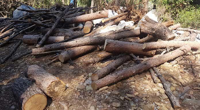 Milli parktaki 'hassas koruma bölgesi' alandan ağaç kestiler