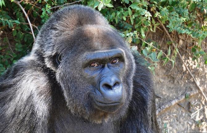 En yaşlı gorili Trudy, 63 yaşında öldü