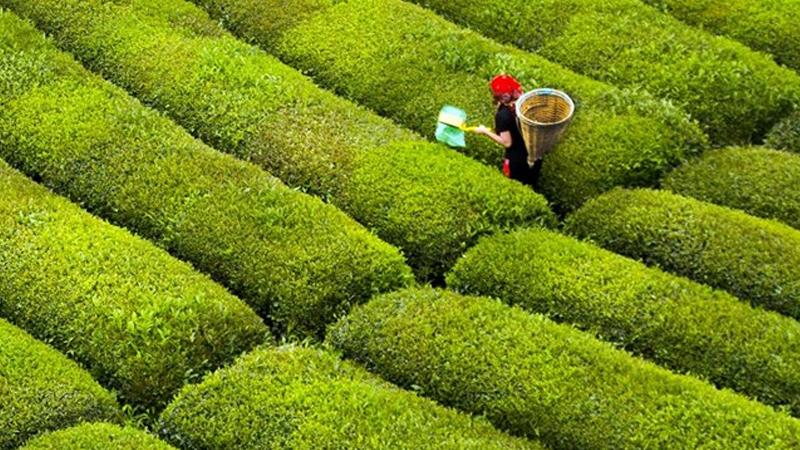 Giresun, Trabzon, Rize ve Artvin Valiliği'nden çay hasadı açıklaması
