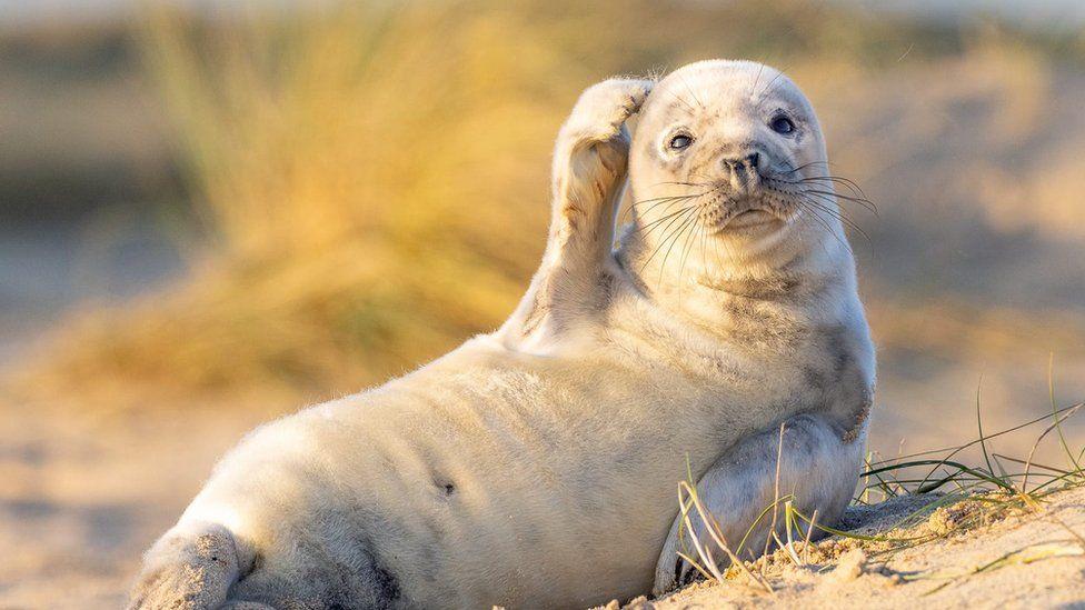 Şaşkın fok, dil çıkaran karaca, kahkaha atan porsuk... Her yıl düzenlenen komik yaban hayatı fotoğraf yarışması bu yıl da başvuruları almaya başladı. Başvurular 30 Haziran'a kadar kabul edilecek ve ardından da finalistler belirlenecek. Yarışmaya başvurmak isteyenler, fotoğraflarını 'Comedy Wildlife Photography Awards' sitesinden gönderebiliyor. (Fotoğraf: Johan Siggesson)