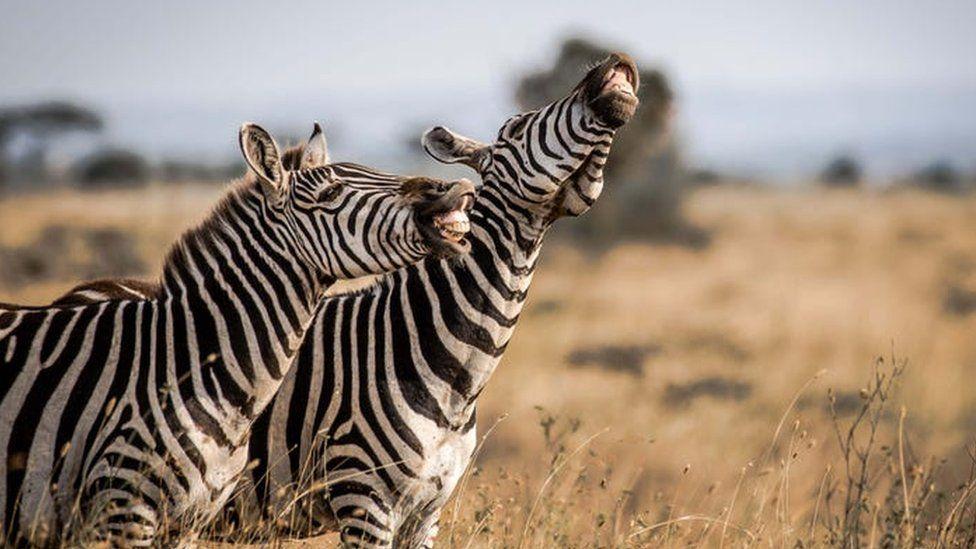 Kenya'daki Nairobi Ulusal Parkı'ndan zebralar bir şeyleri oldukça komik bulmuşa benziyor.