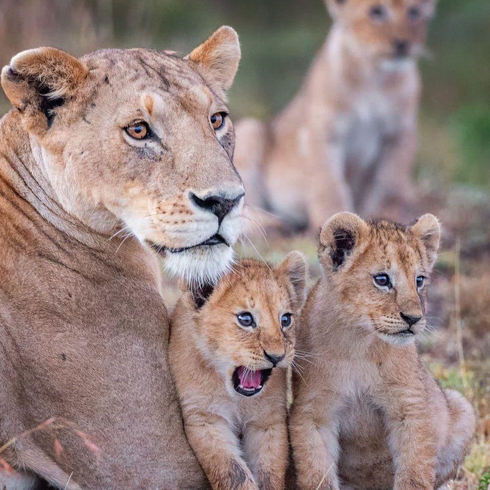 Kenya'dan bir fotoğraf daha... Aslan yavruları şaşkına dönmüş durumda.