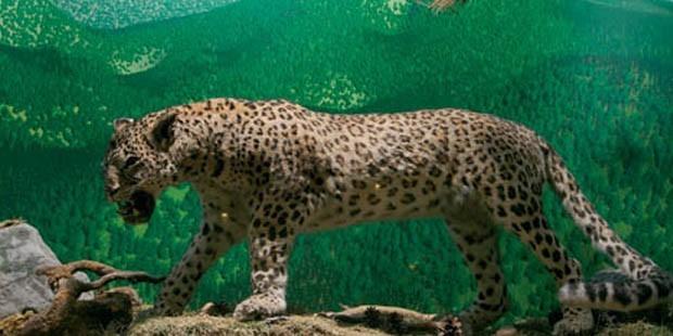 1974'ten sonra bir kez daha, 'son leopar'