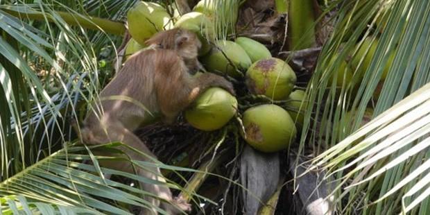 Tayland'da günde 1000 adet hindistan cevizi toplayan işçi maymunlar