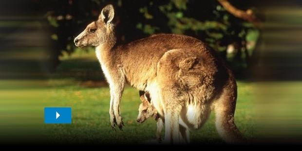 Yeni Doğan Kanguruların Sadece 1 Gram Ağırlığında Olduğunu Biliyor