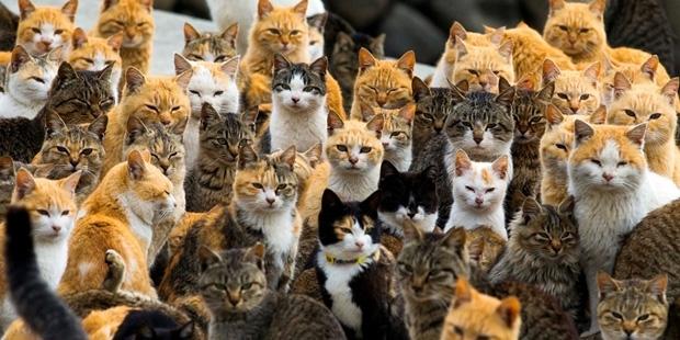 Japonya'nın başında tatlı 'felaket'; kediler adayı işgal etti